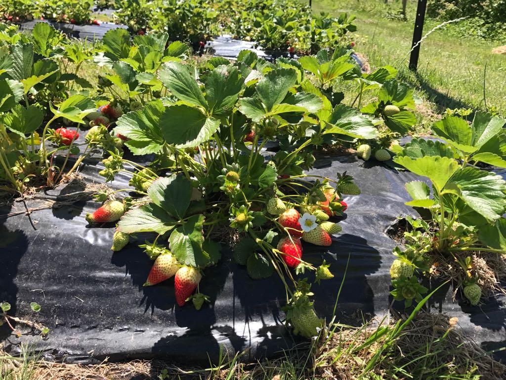 The precious strawberries