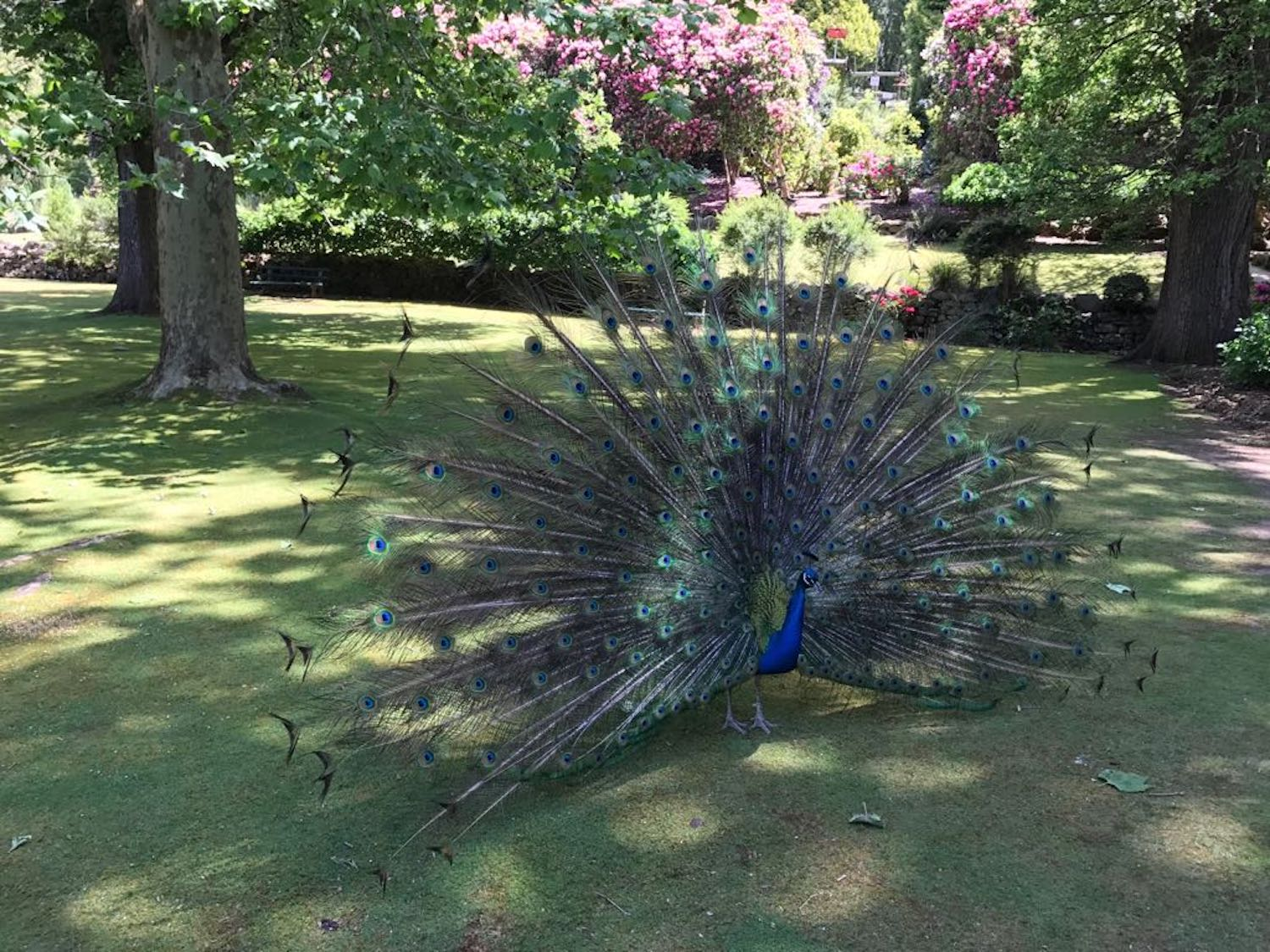 Yes you are magnificent, Mr. peacock!